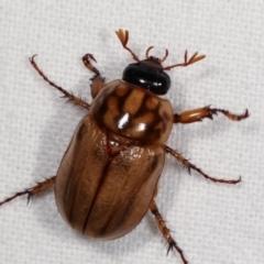Cyclocephala signaticollis (Argentinian scarab) at Melba, ACT - 14 Dec 2020 by kasiaaus