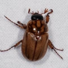 Cyclocephala signaticollis at Melba, ACT - 14 Dec 2020