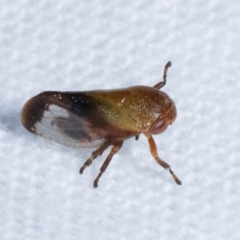Eurymelinae (subfamily) (Unidentified eurymeline leafhopper) at Melba, ACT - 14 Dec 2020 by kasiaaus