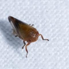 Eurymelinae (subfamily) at Melba, ACT - 14 Dec 2020