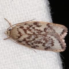 Garrha phoenopis (A Concealer moth) at Melba, ACT - 14 Dec 2020 by kasiaaus