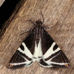 Phrataria bijugata at Melba, ACT - 15 Dec 2020