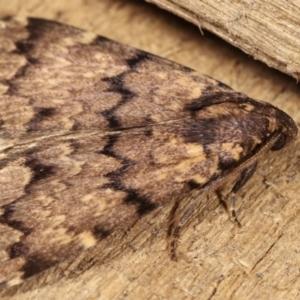 Mormoscopa phricozona at Melba, ACT - 14 Dec 2020