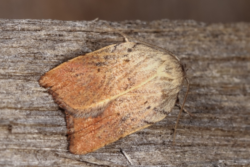 Tortricopsis pyroptis at Melba, ACT - 14 Dec 2020