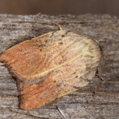 Tortricopsis pyroptis (A Concealer moth) at Melba, ACT - 14 Dec 2020 by kasiaaus