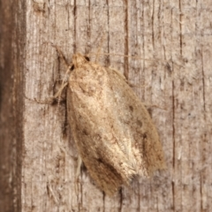 Oecophorinae (subfamily) (Unidentified Oecophorinae concealer moth) at Melba, ACT - 14 Dec 2020 by kasiaaus