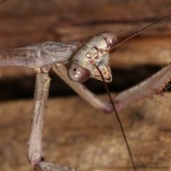 Archimantis latistyla (Stick Mantis, Large Brown Mantis) at Melba, ACT - 14 Dec 2020 by kasiaaus