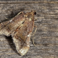 Scenedra decoratalis (A Pyralid moth) at Melba, ACT - 14 Dec 2020 by kasiaaus
