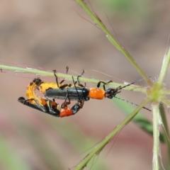 Chauliognathus tricolor (Tricolor soldier beetle) at Dryandra St Woodland - 26 Dec 2020 by ConBoekel