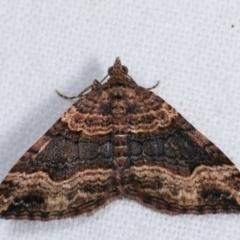 Epyaxa subidaria (Subidaria Moth) at Melba, ACT - 14 Dec 2020 by kasiaaus