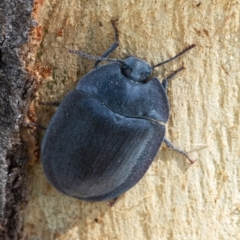 Pterohelaeus sp. (genus) (Pie-dish beetle) at Googong, NSW - 31 Dec 2020 by WHall