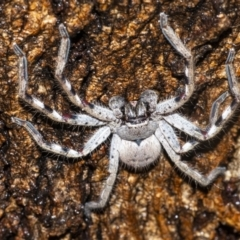 Isopeda sp. (genus) (Huntsman Spider) at Googong, NSW - 29 Dec 2020 by WHall