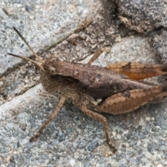 Phaulacridium vittatum (Wingless Grasshopper) at Googong, NSW - 30 Dec 2020 by WHall