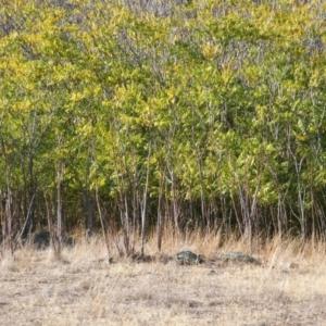 Ailanthus altissima at Jones Creek, NSW - 7 May 2005
