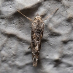Arrade destituta (A Noctuid moth) at ANBG - 30 Dec 2020 by Roger