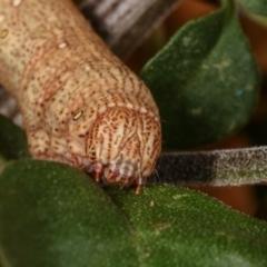 Geometridae (family) IMMATURES at Melba, ACT - 16 Dec 2020