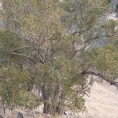 Eucalyptus goniocalyx (Bundy Box) at Jones Creek, NSW - 15 Jun 2005 by abread111