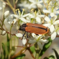Castiarina erythroptera (Lycid Mimic Jewel Beetle) at Mount Painter - 26 Dec 2020 by CathB