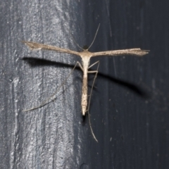 Stenoptilodes taprobanes (Plume Moth) at Higgins, ACT - 29 Dec 2020 by AlisonMilton