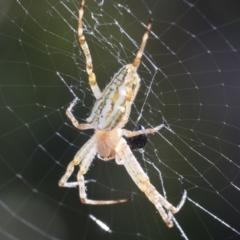 Plebs bradleyi (Enamelled Spider) at Higgins, ACT - 27 Dec 2020 by AlisonMilton