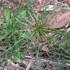 Lepidium pseudotasmanicum (Shade peppercress) at Majura, ACT - 25 Jul 2020 by NickiTaws