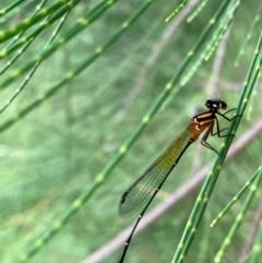 Nososticta solida (Orange Threadtail) at Murrumbateman, NSW - 1 Jan 2021 by SimoneC