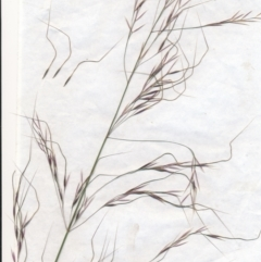 Austrostipa bigeniculata (Kneed Speargrass) at Downer, ACT - 1 Jan 2021 by waltraud
