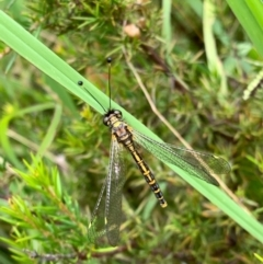 Ascalaphidae (family) (Owlfly) at Murrumbateman, NSW - 1 Jan 2021 by SimoneC