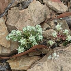 Poranthera microphylla (Poranthera) at Mulligans Flat - 1 Jan 2021 by abread111