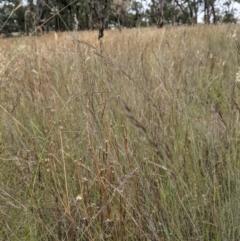 Aristida ramosa (Purple Wire Grass) at Mulligans Flat - 1 Jan 2021 by abread111