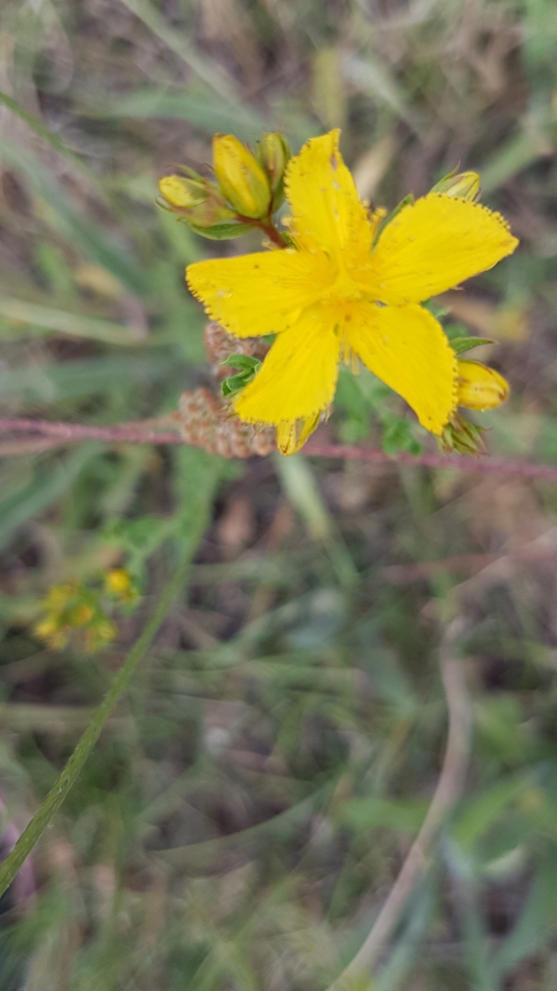 Hypericum perforatum at Bass Gardens Park, Griffith - 1 Jan 2021