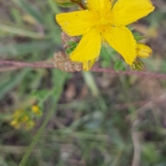 Hypericum perforatum (St John's Wort) at Bass Gardens Park, Griffith - 1 Jan 2021 by SRoss