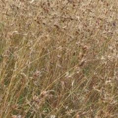 Themeda triandra (Kangaroo Grass) at Mulligans Flat - 1 Jan 2021 by abread111