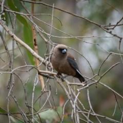 Artamus cyanopterus (Dusky Woodswallow) at Mullion, NSW - 1 Jan 2021 by trevsci