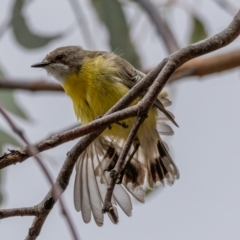 Gerygone olivacea (White-throated Gerygone) at Uriarra, NSW - 1 Jan 2021 by trevsci