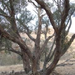 Eucalyptus dwyeri (Dwyer's Red Gum) at Jones Creek, NSW - 18 May 2005 by abread111