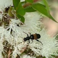Eleale fasciata (Clerid beetle) at Murrumbateman, NSW - 1 Jan 2021 by SimoneC