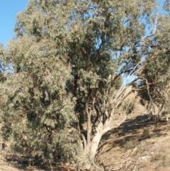 Eucalyptus albens (White Box) at Jones Creek, NSW - 6 May 2005 by abread111