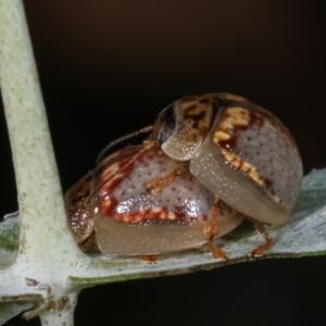 Paropsisterna m-fusca at Melba, ACT - 16 Dec 2020