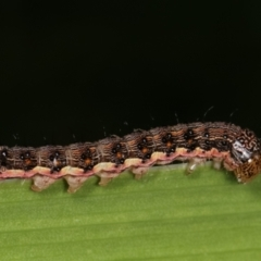 Noctuidae sp. unclassified IMMATURE moth (Immature Noctuidae Moth) at Melba, ACT - 16 Dec 2020 by kasiaaus