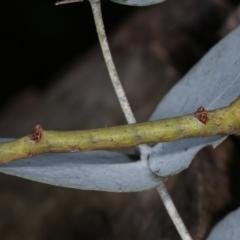 Circopetes obtusata (Grey Twisted Moth) at Melba, ACT - 19 Jan 2021 by kasiaaus