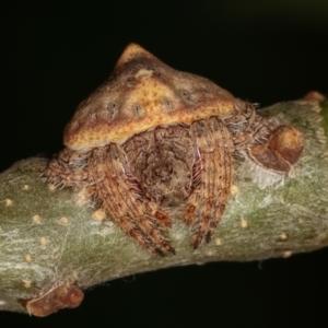 Dolophones sp. (genus) at Melba, ACT - 16 Dec 2020
