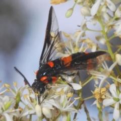 Pterygophorus cinctus (Ringed sawfly or Bottlebrush sawfly) at Wamboin, NSW - 29 Dec 2020 by Harrisi