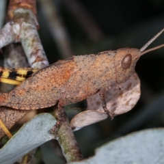 Goniaea opomaloides (Mimetic Gumleaf Grasshopper) at Melba, ACT - 16 Dec 2020 by kasiaaus