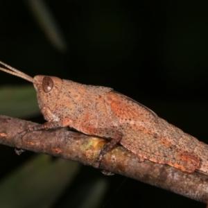 Goniaea opomaloides at Melba, ACT - 16 Dec 2020
