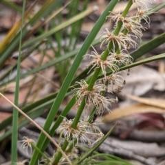 Lomandra multiflora (Many-flowered Matrush) at Currawang, NSW - 20 Dec 2020 by camcols