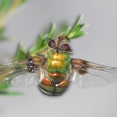 Rutilia (Chrysorutilia) sp. (genus & subgenus) (A Bristle Fly) at Paddys River, ACT - 30 Dec 2020 by Harrisi
