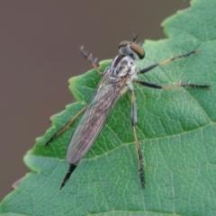 Cerdistus sp. (genus) (Robber fly) at Pearce, ACT - 1 Jan 2021 by Shell