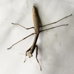 Archimantis sp. (genus) (Large Brown Mantis) at Hughes, ACT - 1 Jan 2021 by ruthkerruish