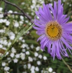 Brachyscome spathulata (Coarse Daisy, Spoon-leaved Daisy) at Namadgi National Park - 1 Jan 2021 by Jubeyjubes
